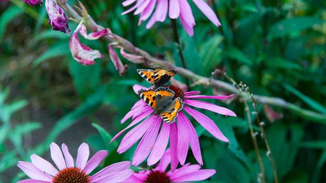 Pair of butterflies image