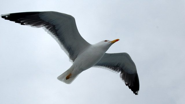 close up of seagull flying image
