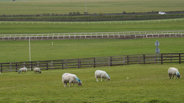 Sheep grazing on the Curragh image