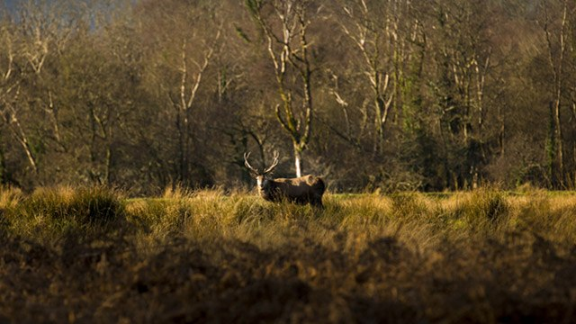 Single wild deer (Stag) image