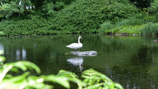 single swan on lake image