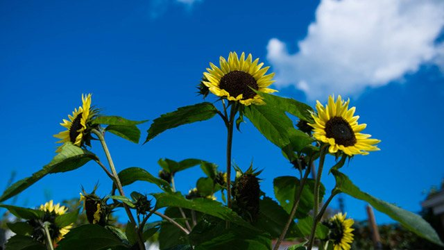 Close up of sunflowers image