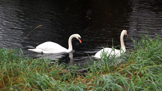 Pair of swans on lake image